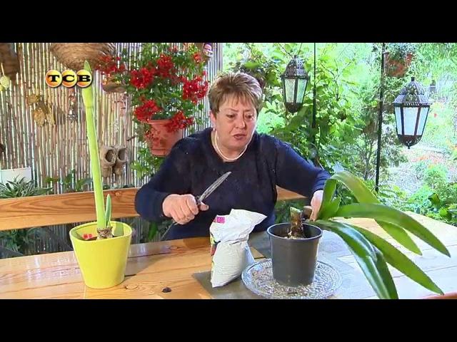 Гиппеаструм. Цветение - Цветочная лавка
