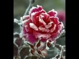 Алая роза - Виктор Королев