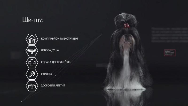 Ши-тцу - все о породе собаки - Purina Pro Plan » Freewka.com - Смотреть онлайн в хорощем качестве