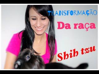 Tosa em shih tzu (transformação)