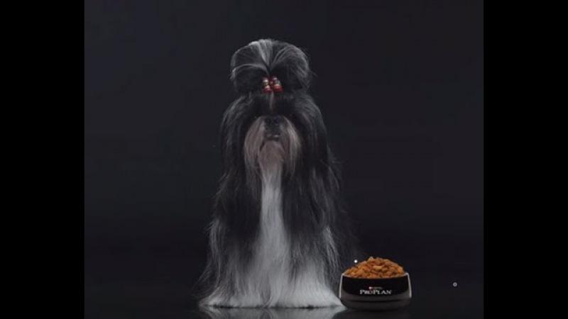 Ши-тцу ➠ Узнайте все о породе собаки » Freewka.com - Смотреть онлайн в хорощем качестве