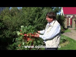 Интервью №5 с Михаилом Качалкиным о выращивании клубники Королевы Елизаветы 2