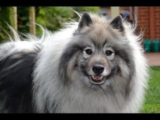Кеесхонд, все породы собак, 101 dogs. Введение в собаковедение.