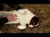 Планета собак. Среднеазиатская овчарка алабай