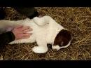 Среднеазиатская овчарка алабай. Планета собак 🌏 Моя Планета