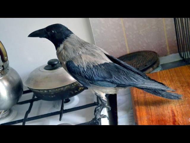 Умные ручные вороны Ворон Глаша и ворона Карпуша
