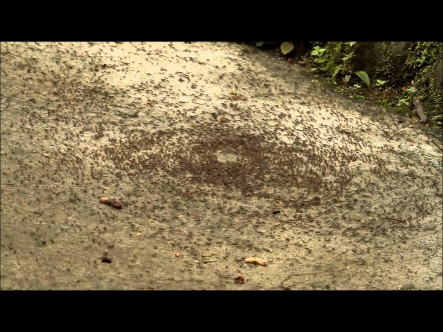 GeoVideo 0020 Army Ant Death Spiral 1080p