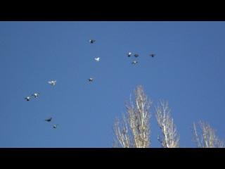 Николаевские торцовые высоколётные голуби Иловайска