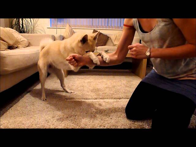 20 Fun Tricks - Norwegian Buhund