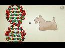 Що таке ДНК і як вона працює Stated Clearly