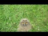 Соня))-совёнок ушастой совы..