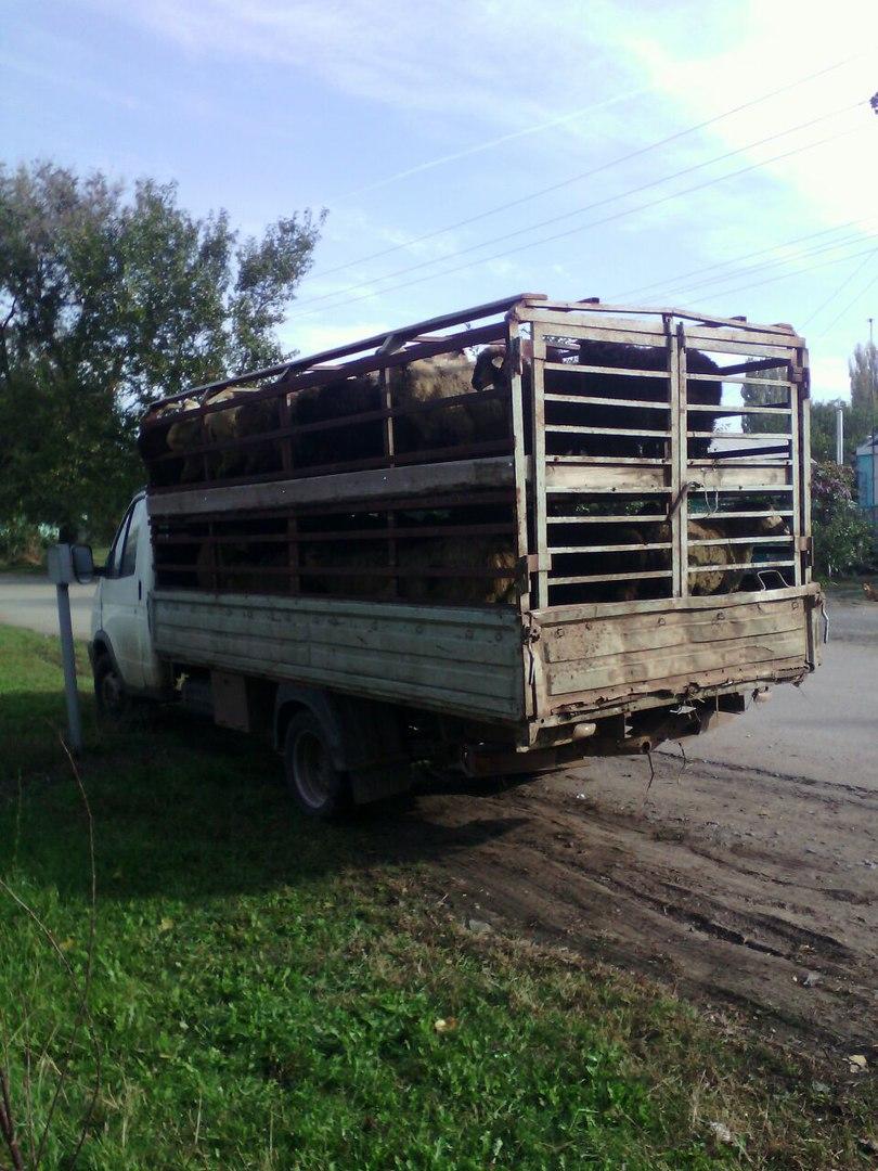 Донские ветинспекторы задержали две отары овец без вет. сопроводительных документов