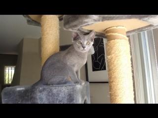 Все о породе русская голубая кошка за 3 минуты...
