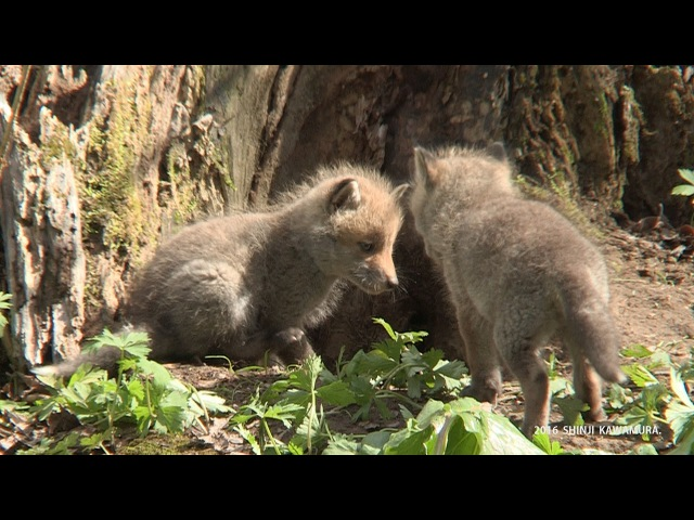 キタキツネの子育て Parenting of red foxes
