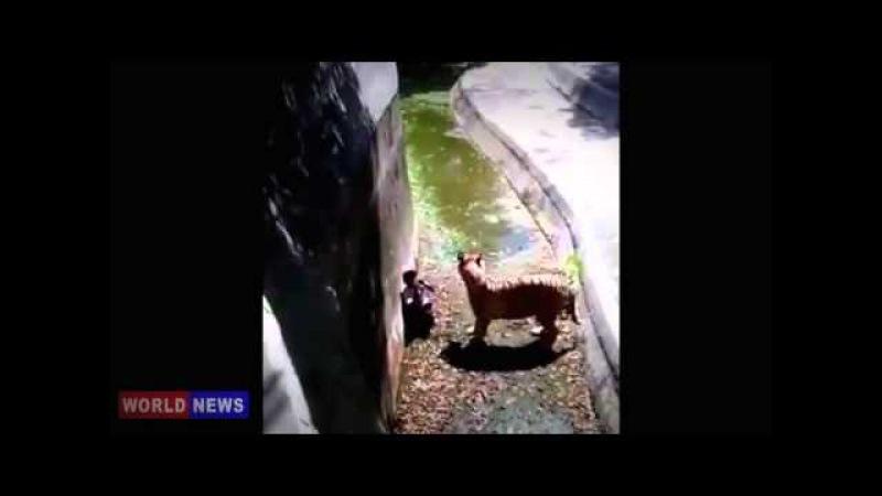 18 plus Тигр напал на человека! Tiger attacked man ЖЕСТЬ YouTube