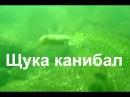 Подводная охота в чистой воде, щука каннибал июль 2015
