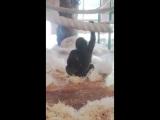 Горилла танцует вальс - Gorilla dancing waltz