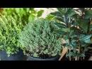 Огород на подоконнике (Пряности в горшочках) | Herbs in Pots