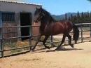 Андалузские лошади из Испании - DANDY
