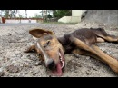 Collapsed street puppy recovers from distemper ЗООЗАЩИТНИКИ