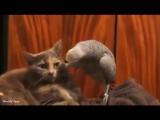 Попугай наезжает на кота (мар.)