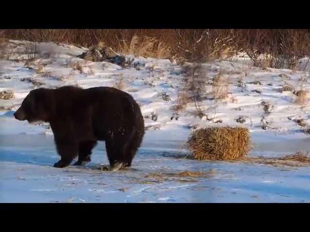 Этот медведь никогда не был так счастлив пока не нашел тюк сена