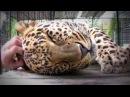 Леопард урчит