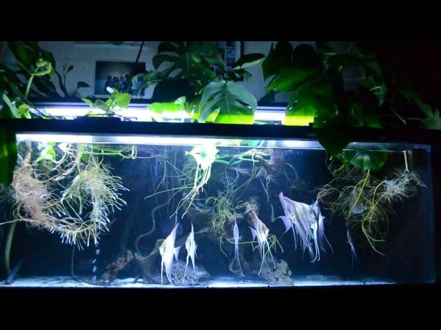 Wild Angelfish (scalare altum) in Amazon biotope style aquarium