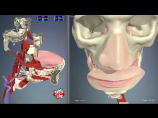 Tongue Muscles  Parts - 3D Human Anatomy - Organs. Анатомия.