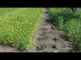 Сидераты. Горчица белая и фацелия, посеянные весной