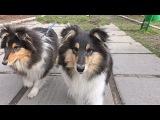 Продаются щенки Колли (Шотландская овчарка), 4 мес.Puppies Collie (Scottish Shepherd), 4 months.