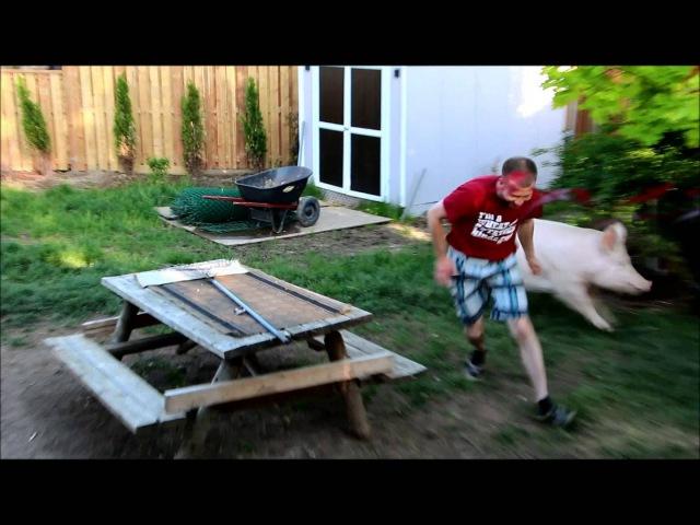 Esther the Wonder Pig Wrestles with Derek