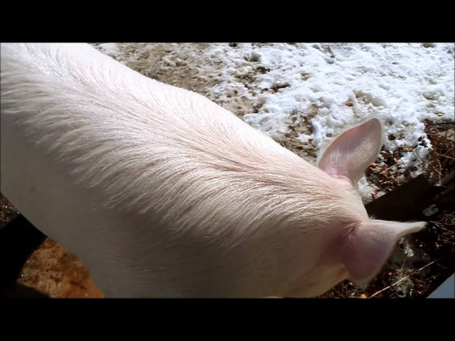 Esther the Wonder Pig Wrestle in the Snow