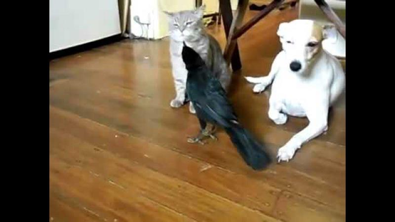 Ворона кормит кота и собаку