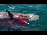 Great White Shark Feeds on Dead Sperm Whale