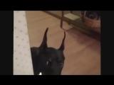 Как собака собирается на дачу.))))