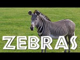 Zebras for Kids Learn all About Zebras - FreeSchool