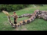 Biggest Snake of the World | Giant ANACONDA 2016