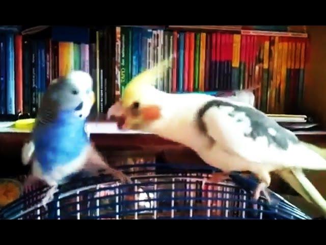Говорящий волнистик достаёт кореллу. Budgie and cockatiel