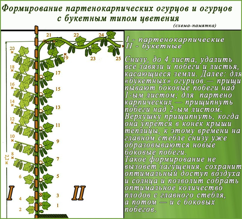 Огурцы. Выращивание огурцов в теплице: как получить хороший урожай-формирование огурцов