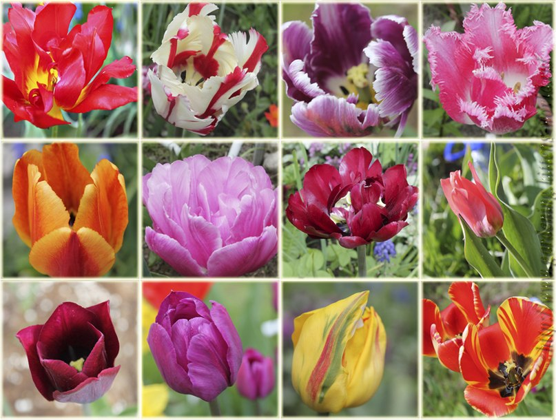Что делать с тюльпанами когда они отцвели