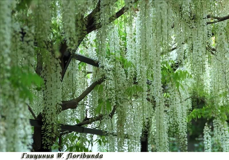 Как выращивать глицинию на садовом участке и как вырастить глицинию в северо-западном климате-глициния W. floribunda