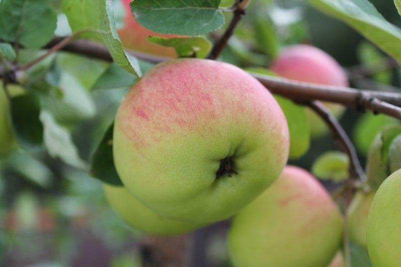 Почему опадают завязи у яблони