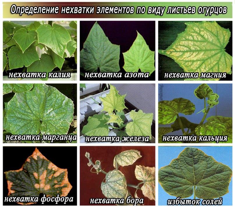 Почему на листьях огурцов желтая кайма. Как по листьям определить недостаток элементов