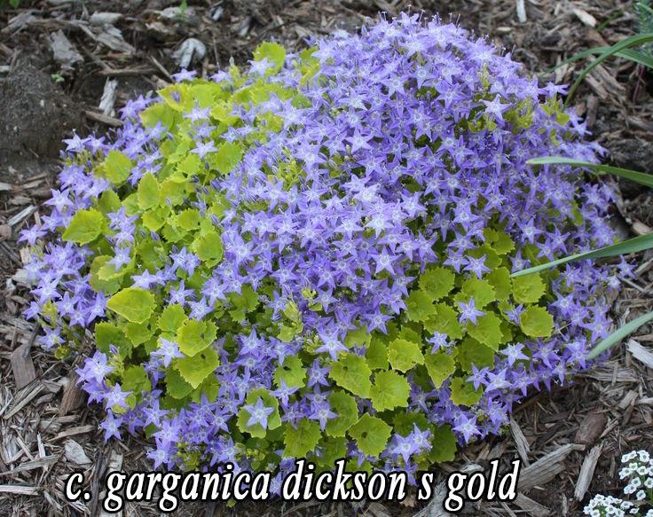 Колокольчик гарганский-Dickson's Gold