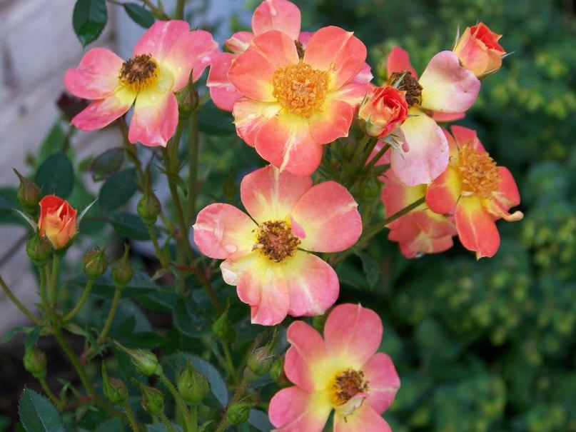 Розы Oso Easy Paprika