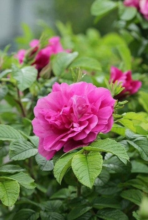 Роза морщинистая-Rosa rugosa Scabrosa