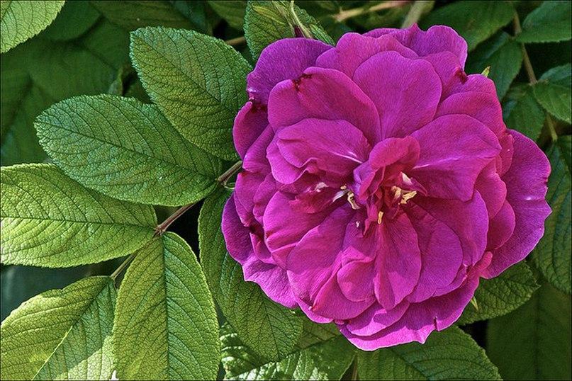 Роза морщинистая-Rugosa Rosa  Hansa
