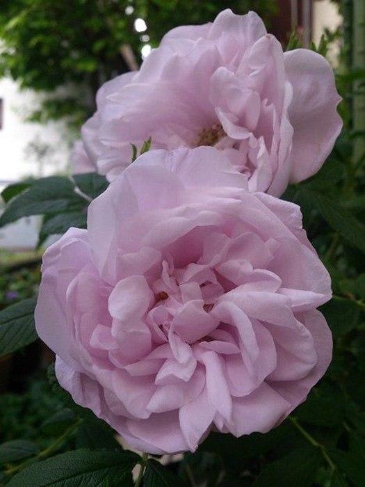Роза морщинистая-Rugosa Rosa  Snow Pavement
