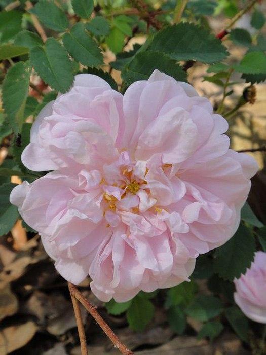 Роза морщинистая-Rugosa Rosa  Stanwell Perpetual Rose